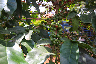 Photo: Laos Reisen, Kaffeestrauch