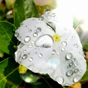 Dew by Carmen Hahn - Nature Up Close Water