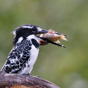 Pied Kingfisher with fresh Lunch by Robert van Brug - Animals Birds ( food, fish, catch, 2012, pied kingfisher, malawi, africa, birds )