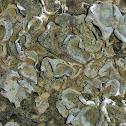 Grey rock tripe