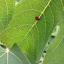 Seven spotted ladybug