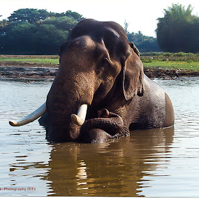 Majesty  by Manjunath Nagesha Rao - Animals Other Mammals