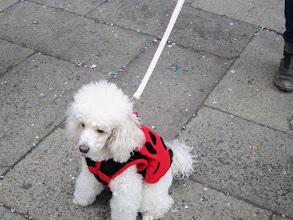 Photo: Venise - Chien-chien : du fait de la hausse vertigineuse des prix et du manque de commodités, Venise se dépeuple (3 fois moins d'habitants qu'il y a 15 ans) et vieillit (la moyenne d'âge des vénitiens était de 53 ans en 2011 !). Du coup, les toutous et les chien-chiens sont légion. En voici un, dans son habit de carnaval...