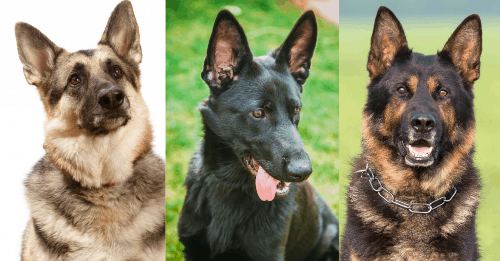 different color german shepherds