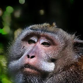 Monkey 1 by Frans Priyo - Animals Other ( #animal, #monkey )