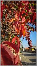 Photo: Viță de Canada (Parthenocissus quinquefolia) - din Turda, de pe Str. Traian - 2018.10.11