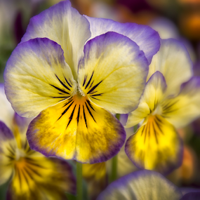 Spring On The Front Porch by Robert Fawcett - Flowers Flower Gardens ( macro, spring colorful flowers, nature, flowers, violas, close up )