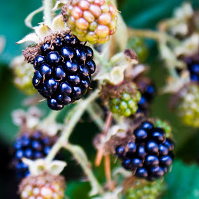 Future Cobbler by Brian Stout - Nature Up Close Gardens & Produce ( blackberry, berry, fruit, thorn, black )