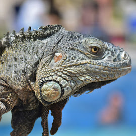 The Iguana by Monroe Phillips - Animals Reptiles (  )
