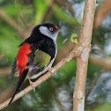 Tangarazinho (Pin-tailed Manakin)