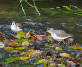Photo: Juvenile Spotted Sandpipers