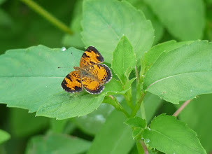 Photo: Pearl crescent butterfly, 7.13.10