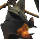 The Indian flying fox (Mother and child)