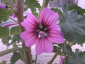 Photo: Blomman är bara helt underbar!!!!!  Jag har tagit några sticklingar så förhoppningsvis har jag några små med hem