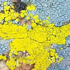 Bright cobblestone lichen