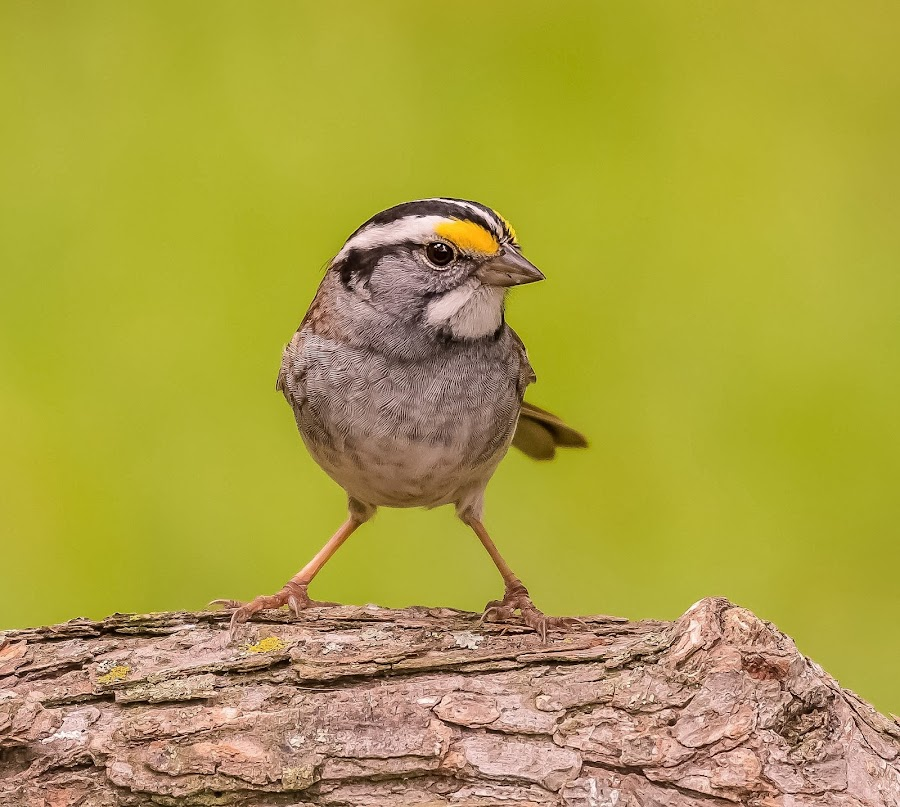 White-throated Sparrow by Steve Munford - Animals Birds ( animals, nature, birds, white-throated, sparrow )