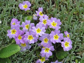 Photo: Day 15 - Primulas