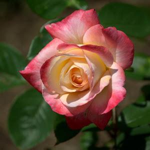 nikon 5-7-17 rose 20.jpg