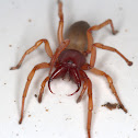 Long-jawed Six-eyed Spider AKA Woodlouse Spider