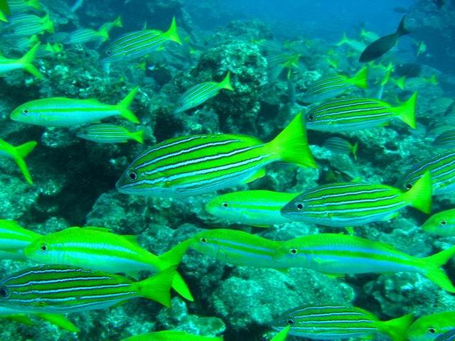 Photo: Lutjans à Cocos