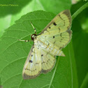 Greater Swett-Potato Webworm Moth