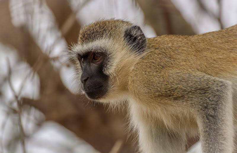 Una soffice scimmietta  di Renata Roattino@jhonninaphoto