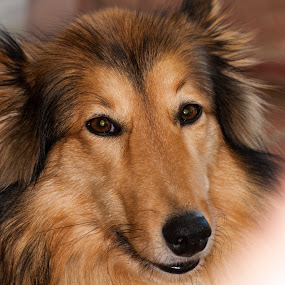 Zylka by Eric Klein - Animals - Dogs Portraits ( collie, blonde, chilling, adorable )