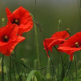 Poppy by Christian Wilen - Flowers Flowers in the Wild ( cirre1,  )