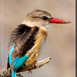 Brown Hooded Kingfisher by Roedie Zandberg - Animals Birds ( bird, birds, kingfisher, wildlife )