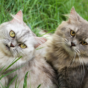 Chenta Fujiwara & Ryosuke Fujiwara by Yoshida Fujiwara - Animals - Cats Portraits