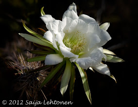"Photo: Wishing everyone a wonderful weekend!!!  ""White Cactus Flower""  Saija Lehtonen Photography  #CactusFlower   #Cactus   #Flower   #FloralFriday   #Nature   #Photography   #Southwest"
