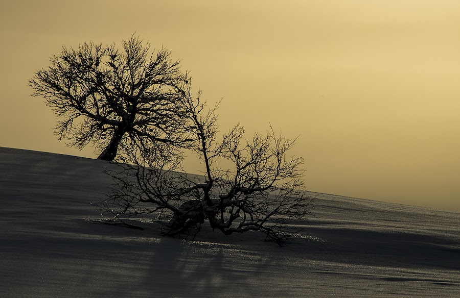 Together by Rita Barbro Skogset - Landscapes Prairies, Meadows & Fields ( winter, birch trees, shadow, snow, trees, sun )