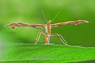 Photo: Cnaemidophorus rhododactyla  http://lepidoptera-butterflies.blogspot.com/