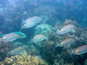 Photo: School of Golden Rabbitfish