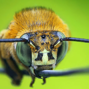 sleeping bee by Adhahuli Fahrizal - Animals Insects & Spiders