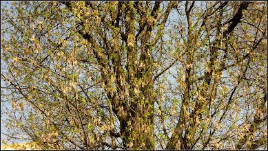 Photo: Artar - Paltin de munte (Acer pseudoplatanus) , Turda, Calea Victoriei, Micro 1 - 2019.04.02
