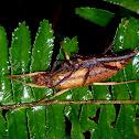 Stick Insect, Phsmids