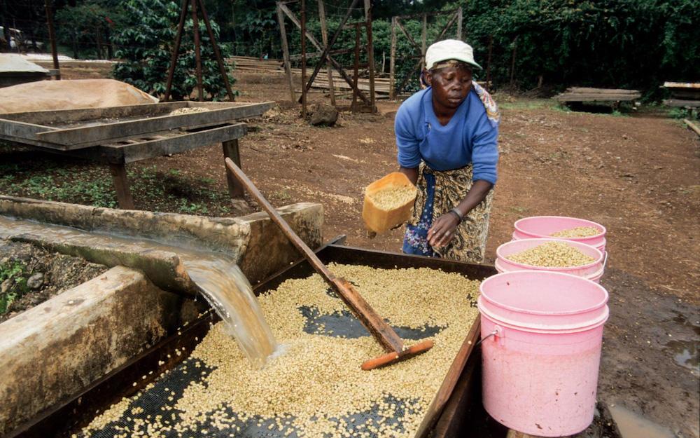 lavar granos de cafe