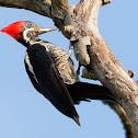 Pica-pau-de-banda-branca (Lineated Woodpecker)
