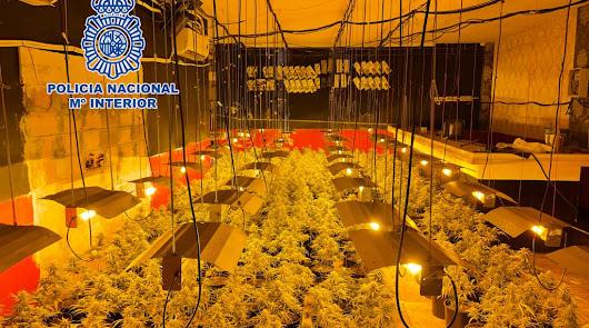 Encuentran más de 1.300 plantas de marihuana en un restaurante de la capital