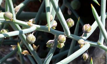 Photo: Asparagus horidus