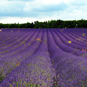 Lavender by Kevin Morris - Landscapes Prairies, Meadows & Fields ( field, purple, meadow, lavender )