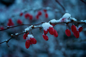 Photo: Snow capped berries  Even invasive plants can be beautiful. This is a barberry on my property.  #365Project curated by +Simon Kitcher  #FrostFriday curated by +Laura Loralieh Nixon
