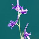 Violet Larkspur