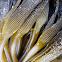 unidentified kelp