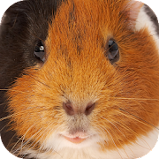 Guinea Pig Sounds