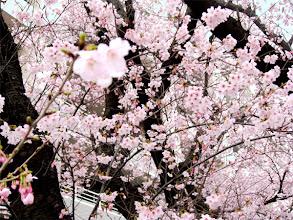 Photo: 「調布のお花見マップ」http://chofu.com/web/sakura/