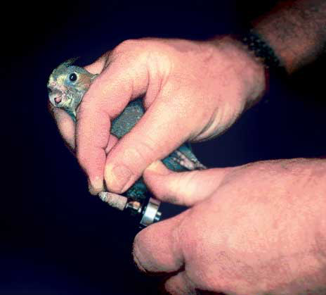 Nail trim in a small bird, single-person hold. Brace fingers against one another for maximum control