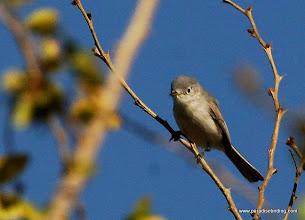 Photo: Blue-gray Gnatcatcher wintering in Nuevo Vallarta
