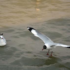 Black Headed Sea Gull by Chirag Gupta - Animals Birds ( bird, white, seagulls, sea, gulls )